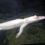 The flight of the Albino Alligator